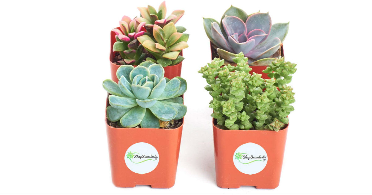 Shop Succulents Collection of 4 ONLY $12.99 (Reg. $19)