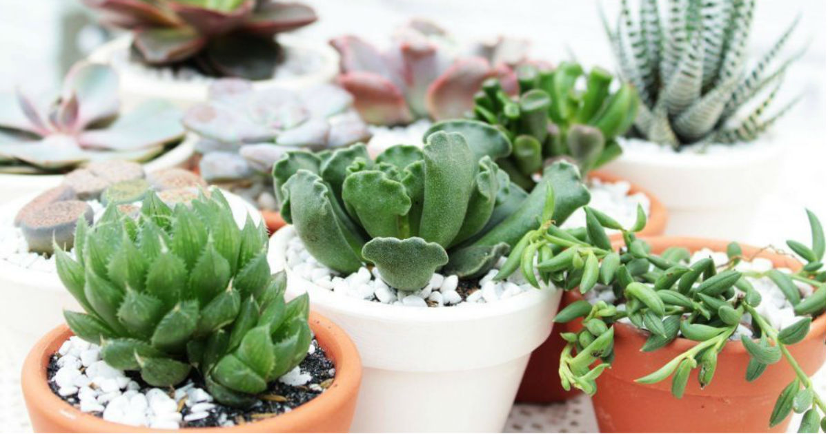 $5.00 Succulent Plants + Free Shipping